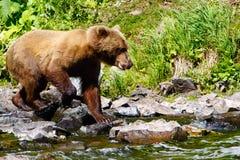 阿拉斯加布朗寻找三文鱼的北美灰熊 图库摄影