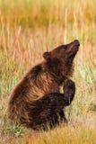 阿拉斯加布朗抓痒的北美灰熊 免版税库存图片