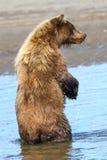 阿拉斯加布朗站立在水中的北美灰熊 免版税库存照片