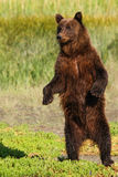 阿拉斯加布朗站起来的北美灰熊 图库摄影