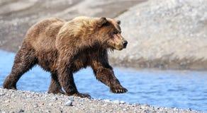 阿拉斯加布朗跑在小河附近的北美灰熊 免版税库存照片