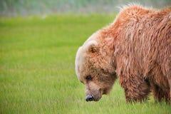 阿拉斯加棕熊绿草草甸 免版税图库摄影