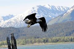 阿拉斯加白头鹰 免版税库存图片