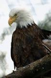 阿拉斯加白头鹰 免版税库存照片