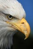 阿拉斯加白头鹰美国 库存图片