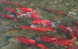 阿拉斯加的三文鱼红大马哈鱼 免版税图库摄影