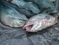 阿拉斯加的三文鱼 免版税库存图片