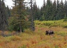 阿拉斯加的公牛秋天麋 库存图片