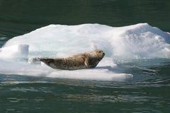 阿拉斯加的冰山密封 免版税库存图片