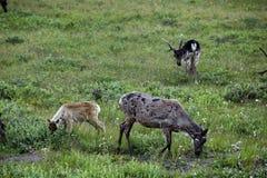 阿拉斯加的北美驯鹿 库存照片