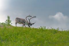 阿拉斯加的北美驯鹿 库存图片