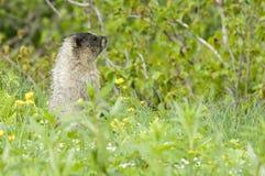 阿拉斯加的土拨鼠 库存照片
