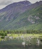 阿拉斯加的夏天天鹅 免版税库存图片