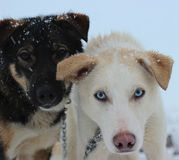 阿拉斯加的多壳的拉雪橇狗 库存图片