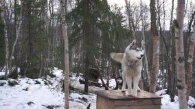阿拉斯加的多壳的狗在拉雪橇狗中心在摩尔曼斯克 股票录像