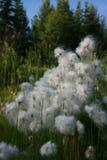 阿拉斯加的棉花 免版税库存照片