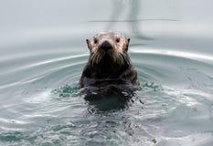 阿拉斯加的水獭海运 库存照片