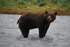 阿拉斯加的沿海棕熊 库存图片