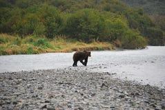 阿拉斯加的沿海棕熊 免版税库存图片