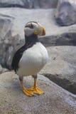 阿拉斯加的海鹦 免版税库存图片