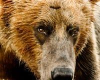 阿拉斯加的熊北美灰熊纵向 免版税图库摄影
