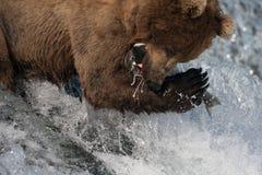 阿拉斯加的熊褐色传染性的三文鱼 库存图片