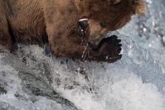 阿拉斯加的熊褐色传染性的三文鱼 免版税库存图片