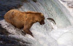 阿拉斯加的熊褐色传染性的三文鱼 库存照片