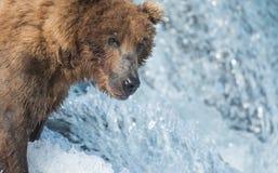阿拉斯加的熊褐色传染性的三文鱼 免版税图库摄影