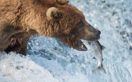 阿拉斯加的熊褐色传染性的三文鱼 图库摄影