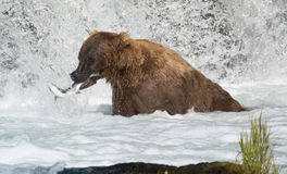 阿拉斯加的熊褐色传染性的三文鱼 免版税库存照片