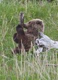 阿拉斯加的熊褐色崽结构树 库存照片