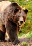 阿拉斯加的熊褐色 免版税库存照片