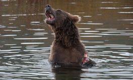 阿拉斯加的熊褐色 免版税图库摄影