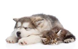 阿拉斯加的爱斯基摩狗一起睡觉小狗和缅因浣熊的小猫 查出在白色 免版税库存照片