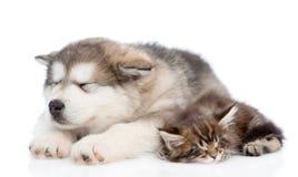 阿拉斯加的爱斯基摩狗一起睡觉小狗和缅因浣熊的小猫 查出在白色 库存照片