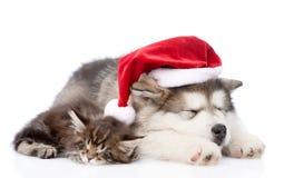 阿拉斯加的爱斯基摩狗与红色圣诞老人帽子的小狗和缅因浣熊小猫 查出在白色 库存图片