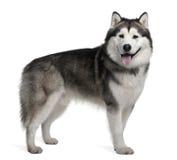 阿拉斯加的爱斯基摩狗副常设查阅 免版税库存图片