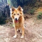 阿拉斯加的爱斯基摩狗十字架金毛猎犬 免版税图库摄影