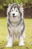阿拉斯加的爱斯基摩狗在公园 图库摄影