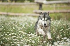 阿拉斯加的爱斯基摩狗在度假愉快地跑在夏天 免版税库存图片