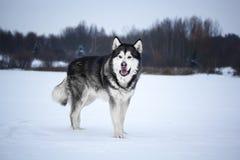 阿拉斯加的爱斯基摩狗在森林里 免版税图库摄影