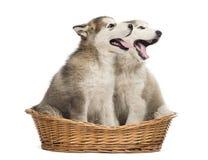 阿拉斯加的爱斯基摩狗小狗装腔作势地说在篮子的开放开会 库存照片