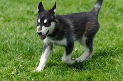 阿拉斯加的爱斯基摩狗小狗赛跑 库存图片
