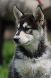 阿拉斯加的爱斯基摩狗小狗画象 图库摄影