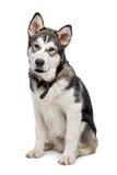 阿拉斯加的爱斯基摩狗小狗 库存图片