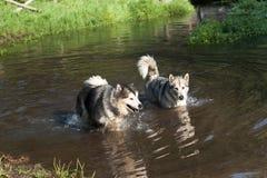 阿拉斯加的爱斯基摩狗游泳 免版税图库摄影