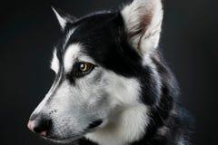 阿拉斯加的爱斯基摩狗演播室画象 库存照片