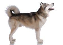 阿拉斯加的爱斯基摩狗纵向 图库摄影