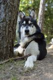 阿拉斯加的爱斯基摩狗针野营的杉树 免版税库存照片